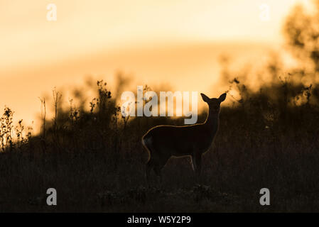 Sika deer silhouetted against the sunset - Stock Photo