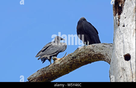 Pair of American black vultures with glossy black feathered wings, hooked beaks, standing in a rotted silvered trunk. - Stock Photo