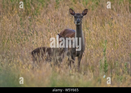 Sika deer doe and fawn in golden meadow - Stock Photo