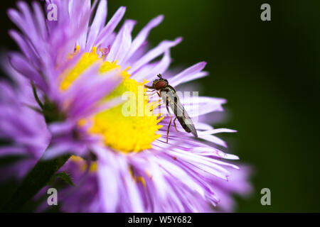 A macro shot of an aster flower with a Platycherius hover fly which has landed on it in a British garden. - Stock Photo