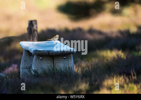 Meadow pipit perched on rustic wooden bench in an area of heath - Stock Photo