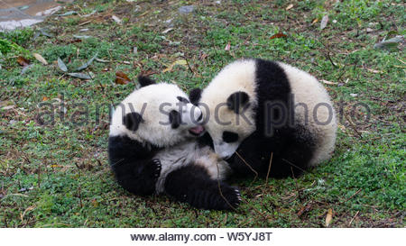 Two Giant panda cubs playing together on the ground, Central China - Stock Photo