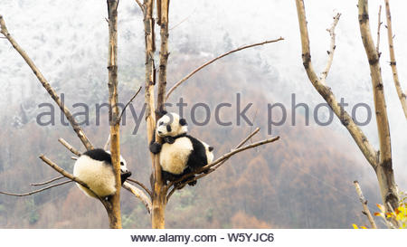 Three cute Giant panda cubs sleeping in the tree, Wulong, China - Stock Photo