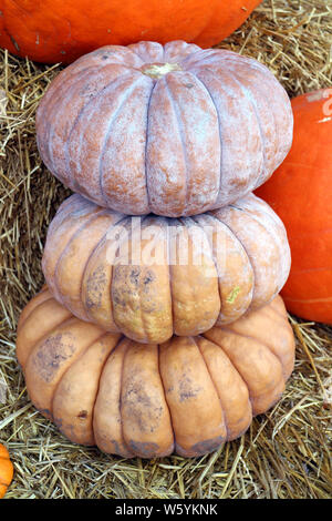 stack of Fairytale Squash at pumpkin patch - Stock Photo