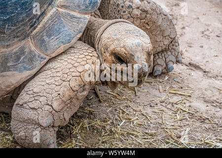 Aldabra giant tortoise (Aldabrachelys gigantea), from the islands of the Aldabra Atoll in the Seychelles. One of the largest tortoises in the world - Stock Photo