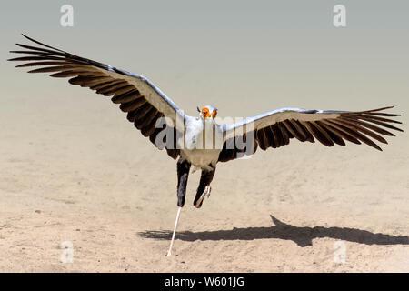 Close up of secretary bird (Sagittarius serpentarius) flying through a dry field - Stock Photo