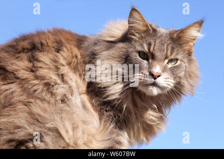 Against a blue sky, a huge, slightly scruffy tabby, long-haired cat fixes a reproachful stare towards the camera with its piecing pale green eyes. - Stock Photo