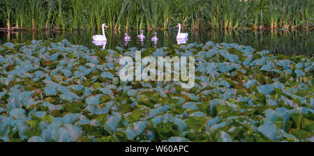 family group of swans with young sygnets relected in lake with lilies to foreground - Stock Photo
