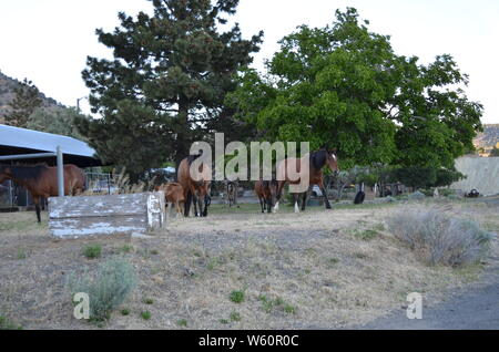 Late Spring in Nevada: Herd of Mustangs Wander Through Virginia City - Stock Photo