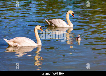 Pair of white swans and little cygnet swimming on the lake - Stock Photo