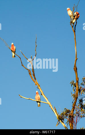 4 Australian Galahs, Cacatua roseicapilla, resting on a dead branch in the late afternoon sun. - Stock Photo