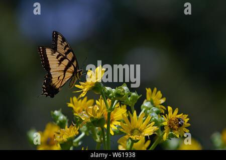 Eastern Tiger Swallowtail on Maximillian Sunflower