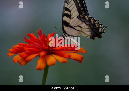 Isolated Eastern Tiger Swallowtail on orange flower - Stock Photo