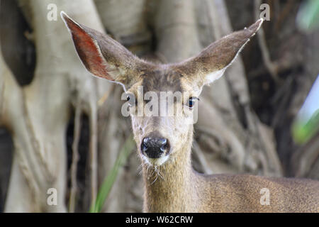 CLoseup portrait of Female mule deer (Odocoileus hemionus), looking at camera, named for its ears, which are large like those of the mule. - Stock Photo