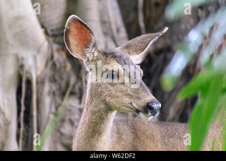 CLoseup portrait of Female mule deer (Odocoileus hemionus), looking to the side, named for its ears, which are large like those of the mule.