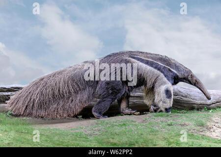 Giant anteater. (Myrmecophaga tridactyla)  waking on grass, blue sky - Stock Photo