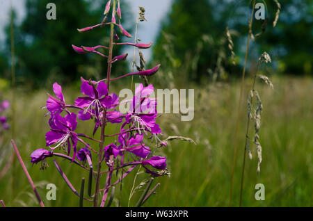 Medicinal plant: Epilobium Species, Blooming Sally, Fireweed, Great Willowherb, Rosebay Willow - tea like herb with beautiful pink flower and very use - Stock Photo