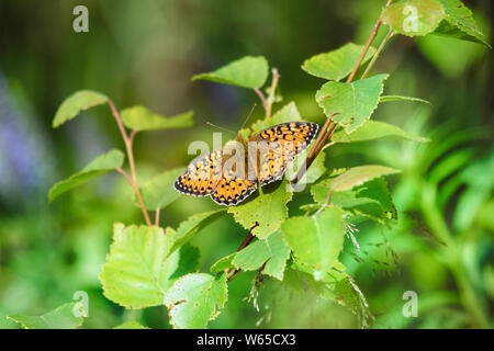 Forest-meadow butterfly High Brown Fritillary (Fabriciana adippe, syn. Argynnis adippe) on shoots of birch. South Coast of Finnish Gulf of Baltic sea - Stock Photo