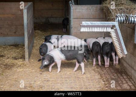 Swabian Hall Pig, schwaebisch hall, hohenlohe region, heilbronn-franconia, baden-wuerttemberg, germany