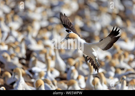 Cape Gannet, Lamberts Bay, Western Cape, South Africa, Africa, (Morus capensis) - Stock Photo