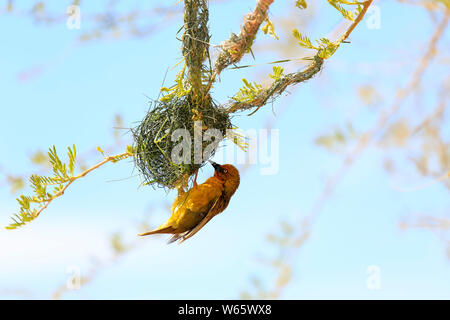 Cape Weaver, adult male building nest, Klein Karoo, Western Cape, South Africa, Africa, (Ploceus capensis) - Stock Photo