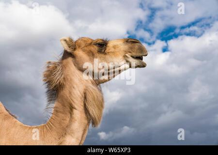 dromedary, Arabian camel (Camelus dromedarius) - Stock Photo