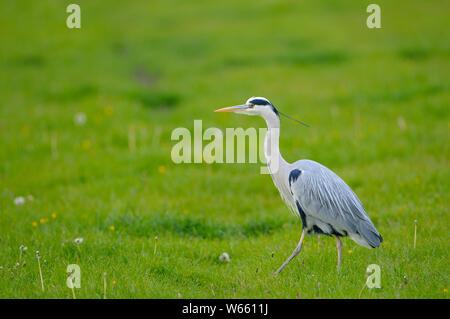 Grey Heron, may, Gelderland, Netherlands, (Ardea cinerea) - Stock Photo