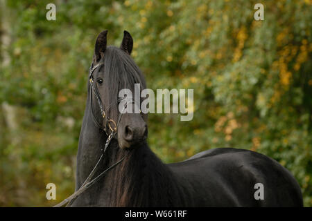 Frisian horse, stallion with snaffle - Stock Photo