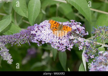 Single Comma butterfly, Polygonia c-album, feeding on Buddleia flower, UK - Stock Photo