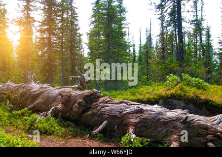 old dry fallen cedar tree in the middle of a wild forest in the rays of the sunset - Stock Photo