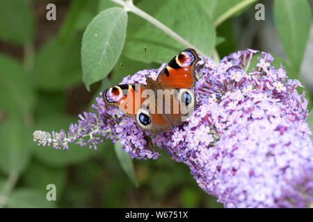 Single European Peacock butterfly, Aglais io, feeding on Buddleia flower, UK - Stock Photo