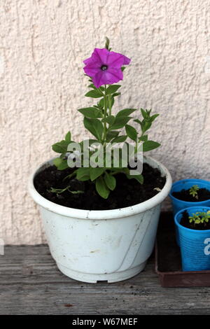 Single Petunia plant with dark violet flowers growing from white flower pot in local urban garden on warm sunny spring day - Stock Photo