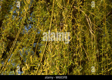 salix babylonica or babylon willow in early spring with light green spirally flowers, weeping willow branches on tree in springtime macro shot - Stock Photo