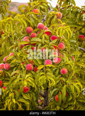 Branches of red peach tree in the vegetable garden. - Stock Photo
