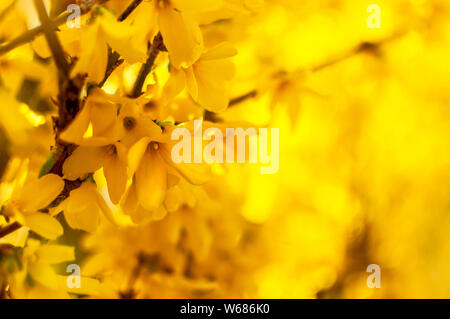 Forsythia (Golden Bell, Border Forsythia) yellow flowers, selective focus, blurred bokeh background. Symbol of spring, idea of easter holidays. - Stock Photo