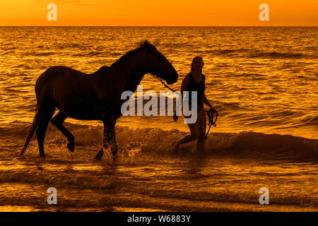 Horsewoman / female horse rider bathing / paddling with horse in shallow water on the beach at sunset in summer along the North Sea coast - Stock Photo