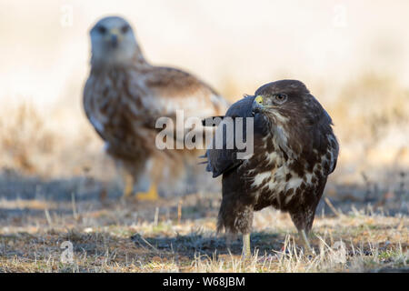 Common buzzard, (Buteo buteo), feeding on the ground and a red kite in the background. Spain - Stock Photo