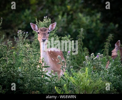 Fallow deer in a woodland close up, near Plymouth Devon uk - Stock Photo