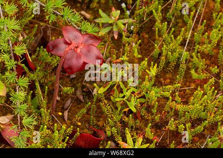 Purple pitcher plant (Sarracenia purpurea), Salmonier Nature Provincial Park, Newfoundland and Labrador, Canada - Stock Photo