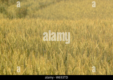 A crop of wheat ripening in a large field on a Yorkshire farm in England.