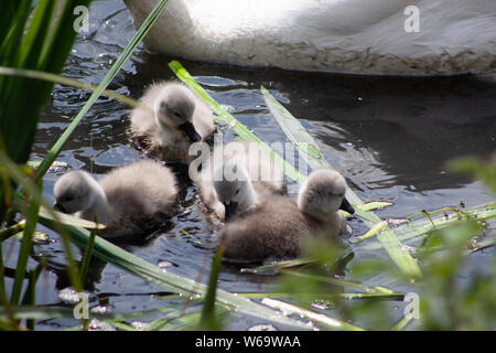 SWANS WITH SYGNETS - Stock Photo