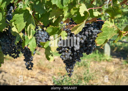 Red Wine Grapes on the Vine. Ripe bunches of red grapes hang on the vine in a vineyard ready to be harvested. Okanagan Valley near Osoyoos, British Co - Stock Photo
