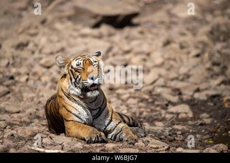 thoughtful, sad, tired | White Bengal Tiger Location: Bali ... |Bengal Tiger Tired