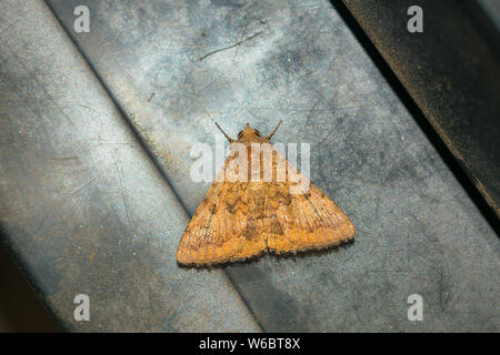 close up of a brown moth on a grey textured background.brown moth sitting on a grey background. - Stock Photo