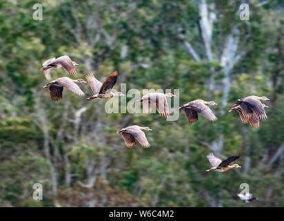 A flock of migrating Plumed Whistling-ducks in flight (Dendrocygna eytoni) at Hasties Swamp, Atherton Tablelands, Queensland, Australia - Stock Photo