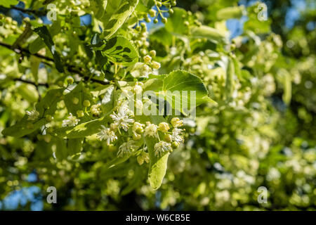 Blossoms of a Large-leaved Linden (Tilia platyphyllos) in full bloom - Stock Photo