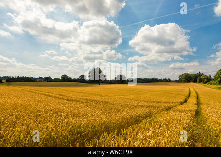 Golden ripe wheat field in Northern Germany near Kiel - Stock Photo