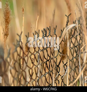 Square frame Close up of chain link fence and slim brown grasses on a sunny day - Stock Photo