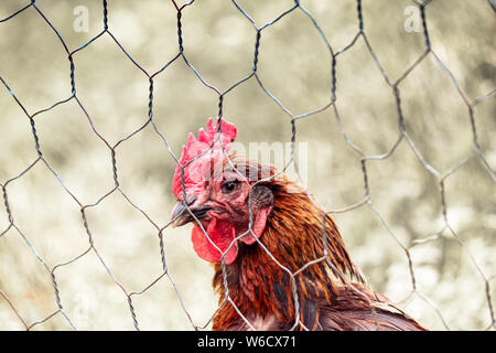 Sad brown hen in chicken cage. Behind fence. Animal abuse, cruelty to animals. Hen cages, battery cage. Chicken flu, diseases. Free range chickens. Blurred background.