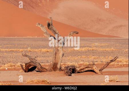 Early morning sunlight illuminating a dead tree near Dune 45. Sossusvlei, Nambia. - Stock Photo
